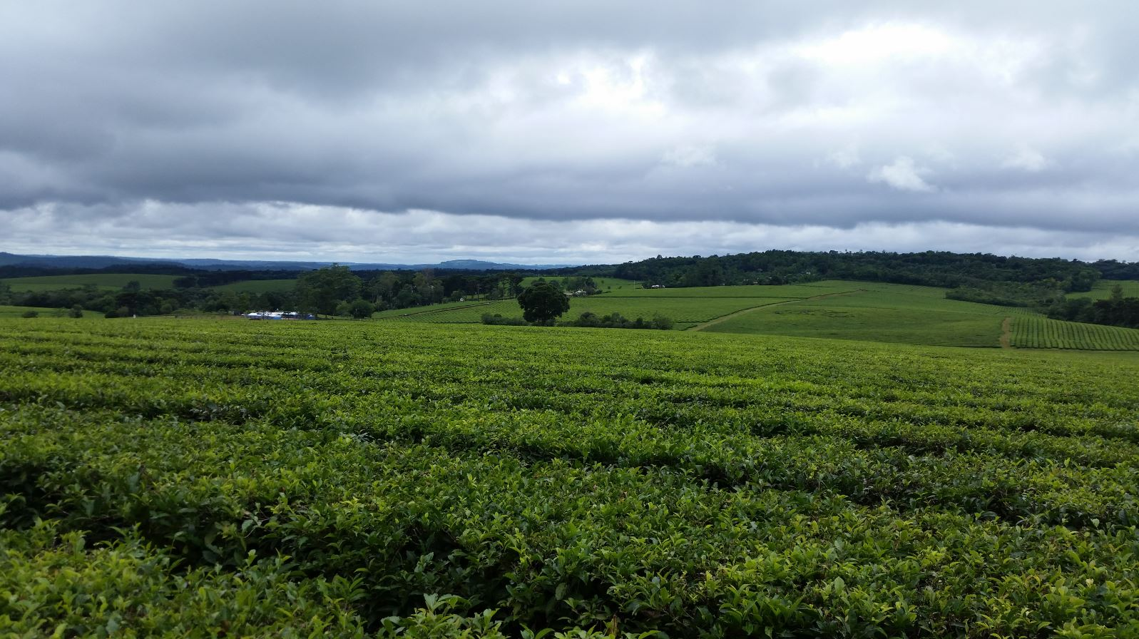 South America Tea Estate